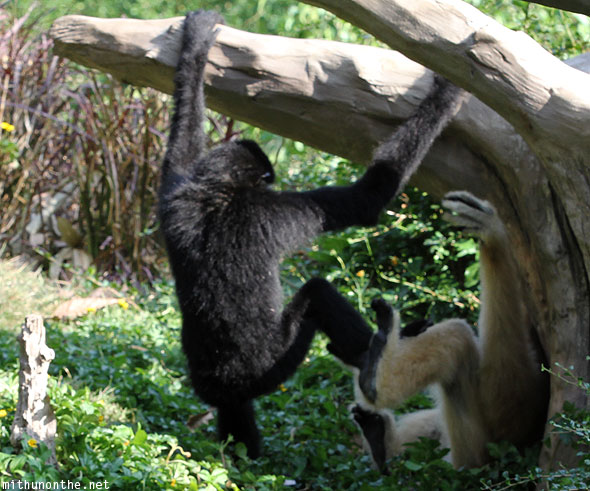 Gibbons fighting Chiang Mai zoo Thailand