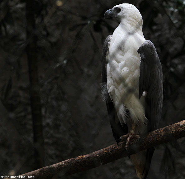 White bellied sea eagle Chiang Mai zoo Thailand