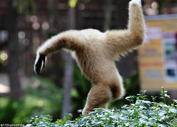 White gibbon monkey swinging Chiang Mai zoo