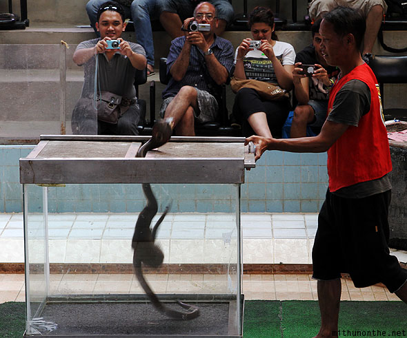 Cobra show mongoose fighting snake Thailand