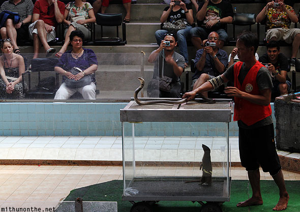 Cobra show mongoose snake fight Thailand