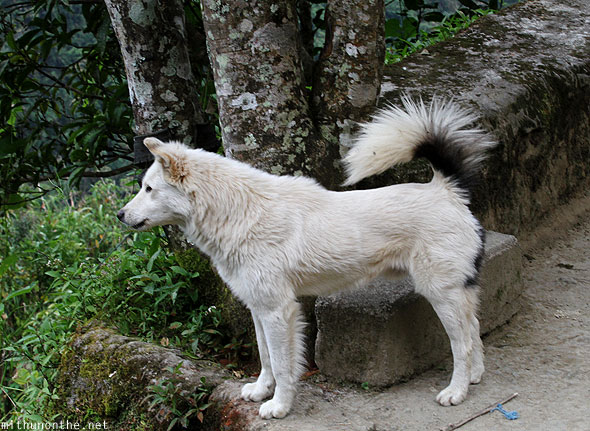 Banaue house white dog