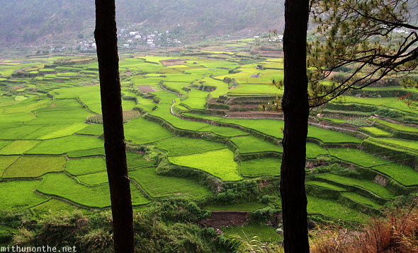 Sagada rice terraces green trees