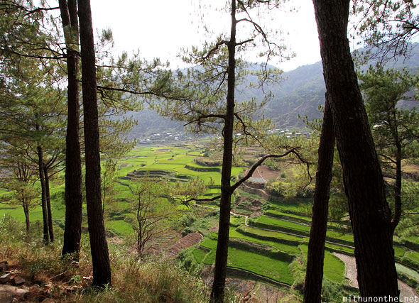 Sagada rice terraces trees