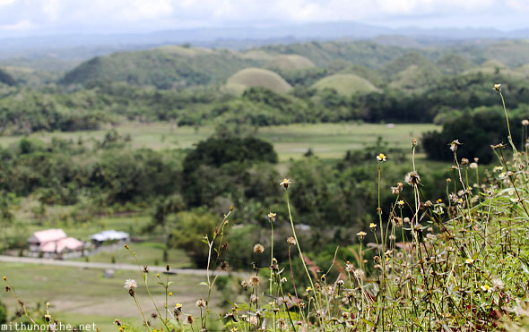 Chocolate hills flowers Bohol Philippines