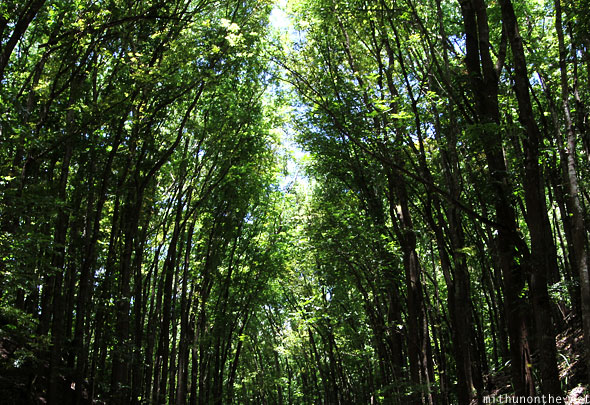 Manmade forest trees blocking sunlight Bohol Philippines