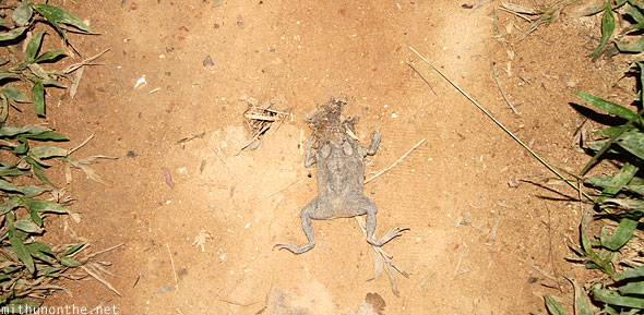 Frog squished flat road kill Las Cabanas Palawan Philippines