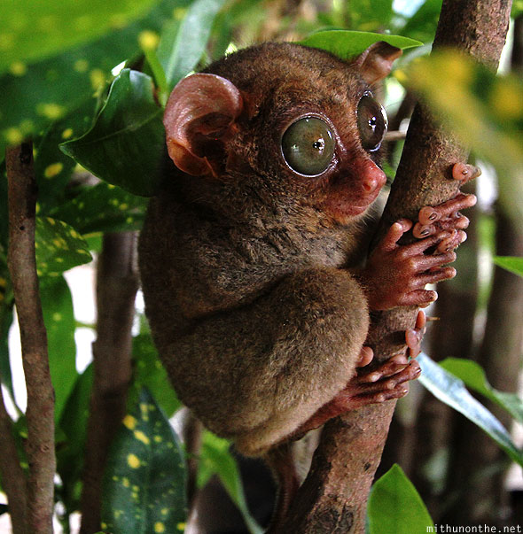 Tarsier big eyes open Bohol Philippines