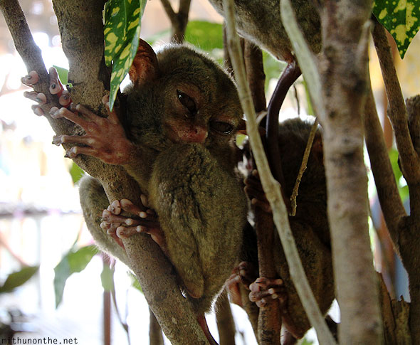 Tarsier clenched on branch Bohol Philippines