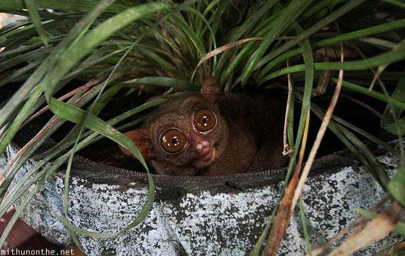 Tarsier in pot Bohol