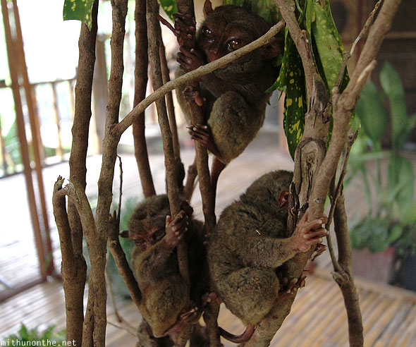 Tarsiers afternoon Bohol Philippines