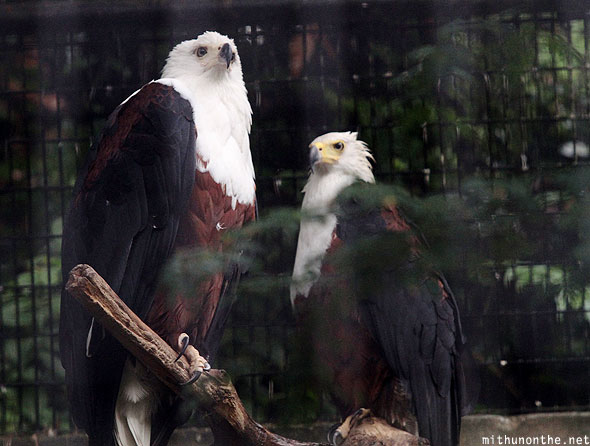 African fish eagle Jurong bird park Singapore