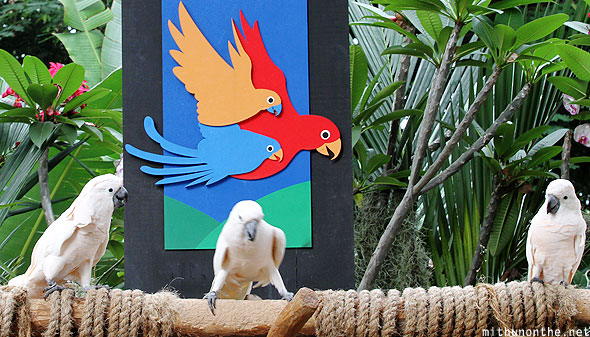 Cockatoo dancing Singapore Jurong bird park