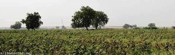 Cotton fields Andhra Pradesh India