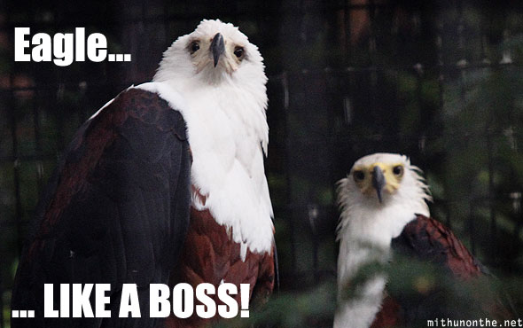 Eagles like a boss Singapore
