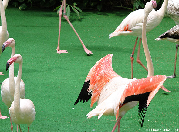 Flamingo wing Jurong bird park Singapore