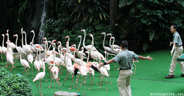 Flamingos leaving Jurong bird park Singapore show