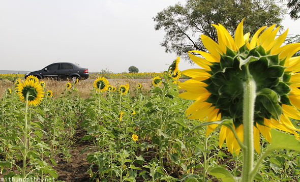 Ford Fiesta sunflower field Belum India