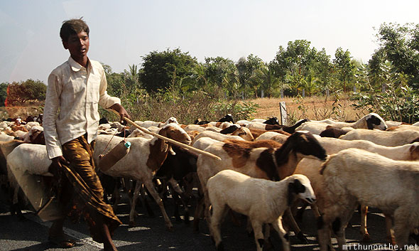 Goat herder crossing road India