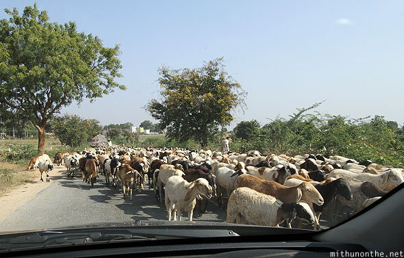 Goats on road Karnataka India