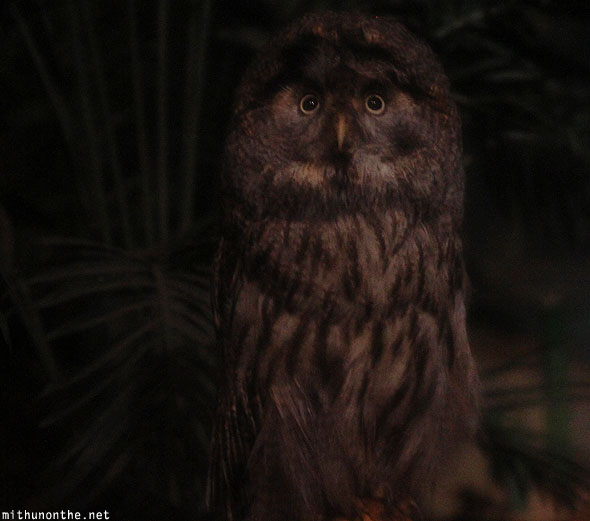 Great grey owl Jurong bird park Singapore
