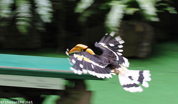 Great hornbill flying Jurong bird park Singapore show