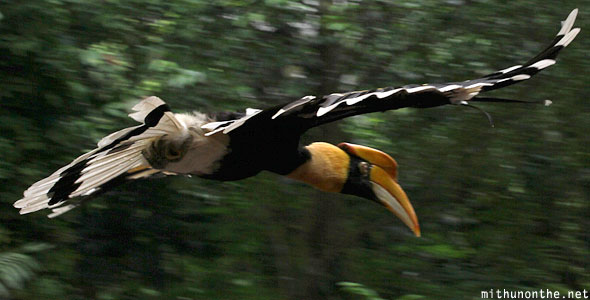 Great hornbill flying Jurong bird park Singapore
