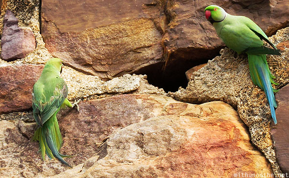 Green parrot Gandikota fort