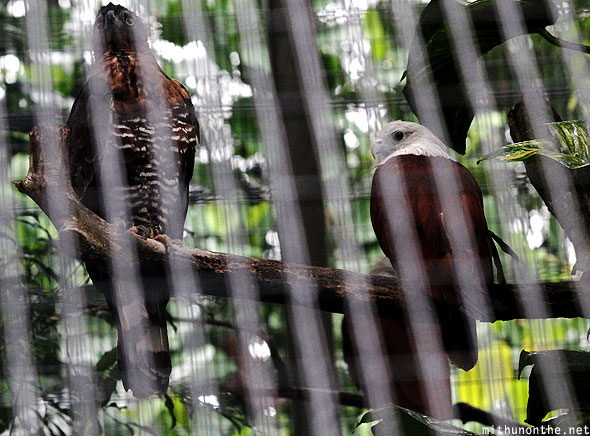 Hawk eagle Jurong bird park Singapore