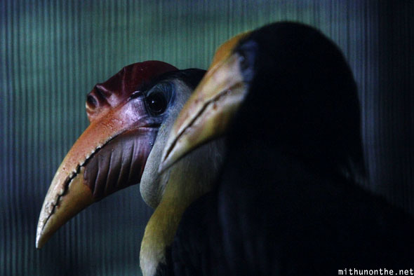 Hornbill heads Jurong bird park Singapore
