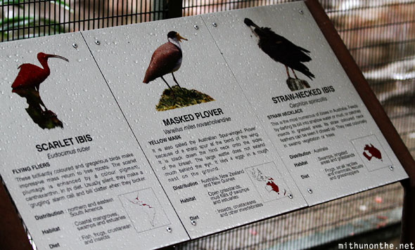 Ibis plover facts Jurong bird park Singapore