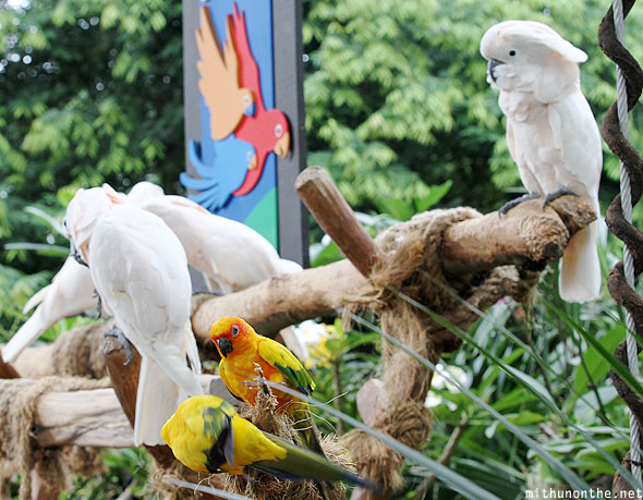 Jurong bird park cockatoo Singapore