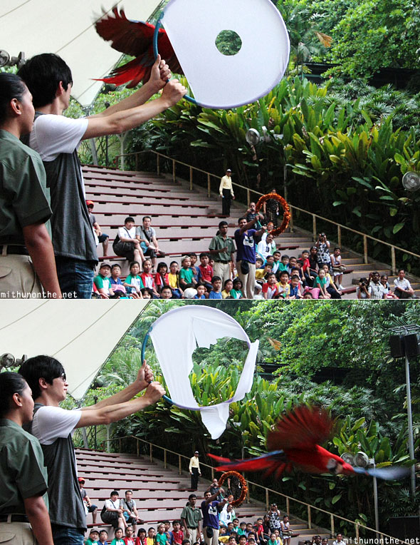 Jurong bird park parrot breaking through hoop Singapore