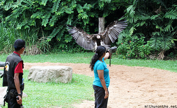 Jurong bird park vulture show with volunteer Singapore