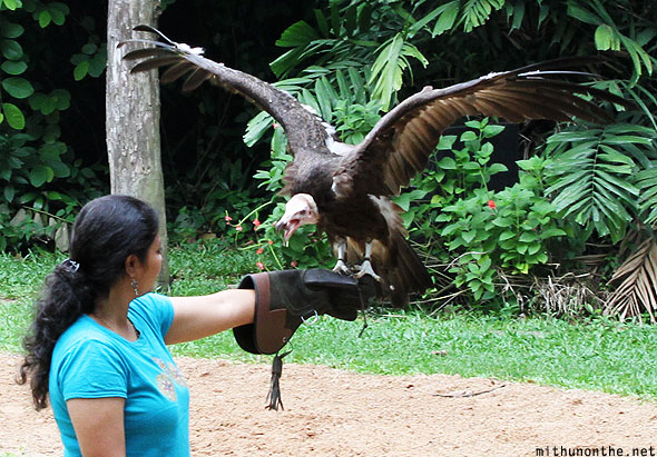 Jurong bird park vulture with Indian volunteer