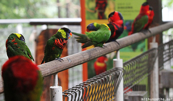 Lories Jurong bird park Singapore