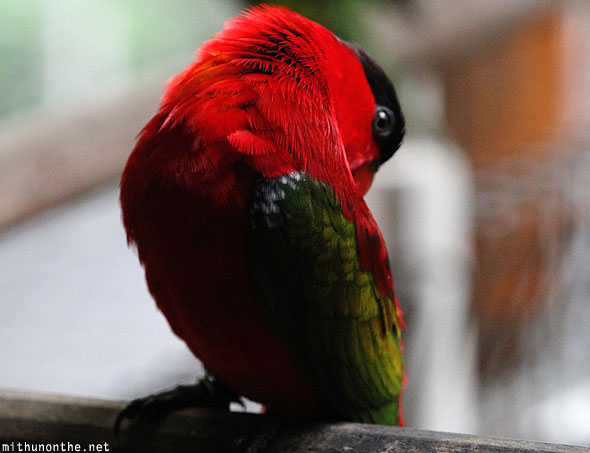 Lory red feather close-up Singapore