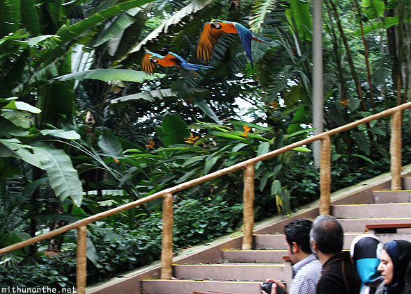 Macaws flying in Jurong bird park Singapore