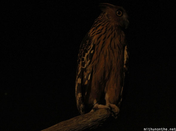 Malay Buffy fish owl Jurong bird park Singapore