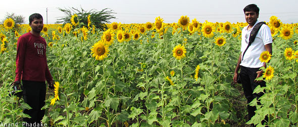 Mithun Ramesh sunflower field Belum India