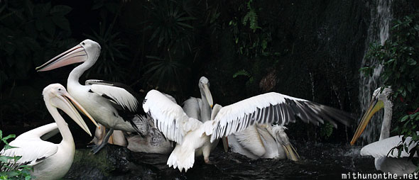 Pelicans fountain Jurong bird park Singapore