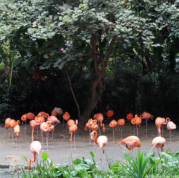Pink flamingos Jurong bird park Singapore panorama