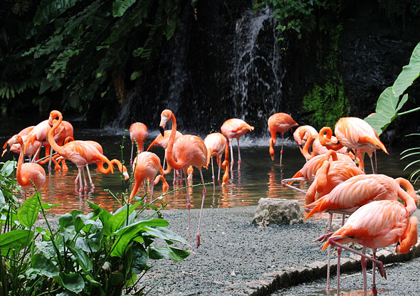 Pink flamingos waterfall Jurong Bird Park Singapore