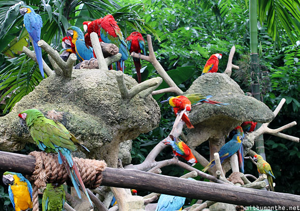 Red, blue-yellow, green parrots macaw Jurong bird park Singapore