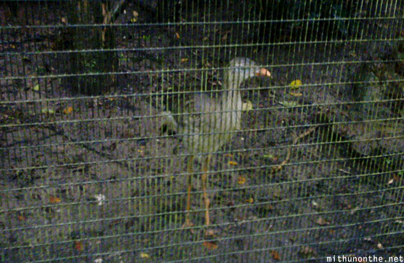 Red legged seriema Jurong bird park Singapore