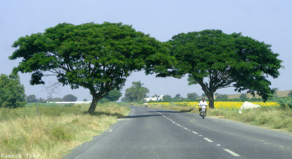 Road to Jammalamadugu trees