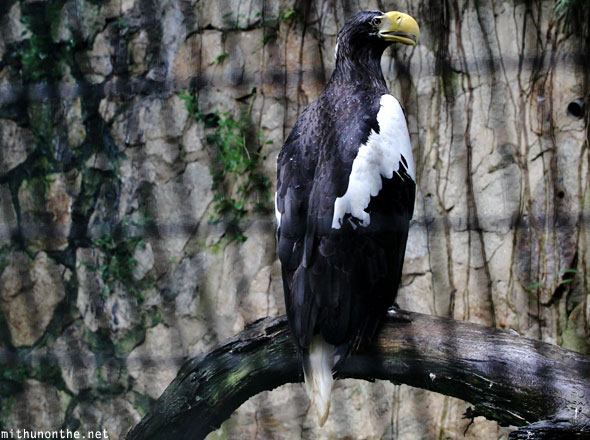 Steller's sea eagle Jurong bird park Singapore