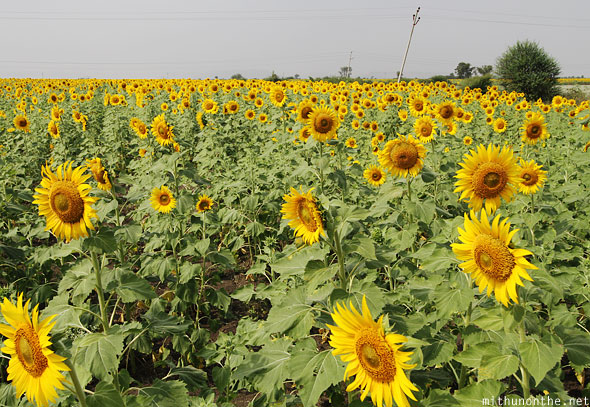 Sunflower field Belum Andhra Pradesh India