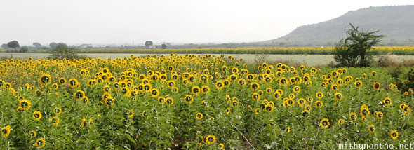 Sunflower fields Andhra Pradesh India