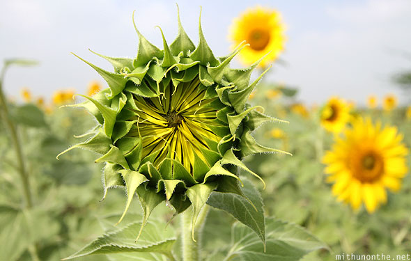Sunflower yet to bloom India
